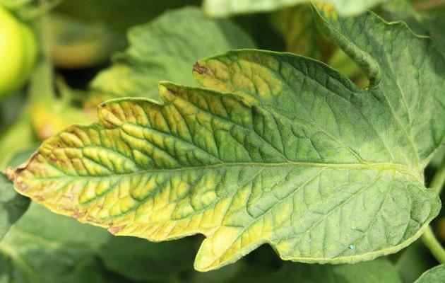 Symptoms-of-Potassium-Deficiency